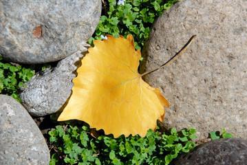 Yellow Cottonwood Leaf