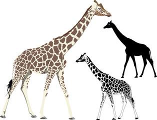 Vector illustration and silhouette of walking giraffe