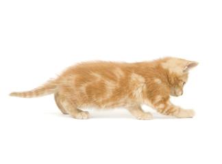 Yellow kitten pouncing