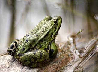 Tuinposter Kikker commen green frog