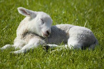 lamb sleeping