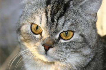 Grey cat. Yellow eyes.