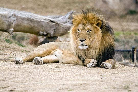 African Black Maned Lion