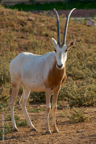 Quot African Deer Quot Stock Photo And Royalty Free Images On