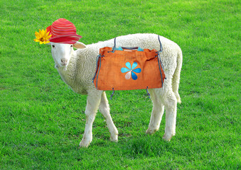 beauty sheep