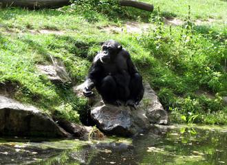 Chimpanzee drinking water