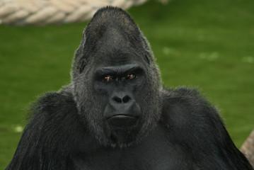 tete de gorille