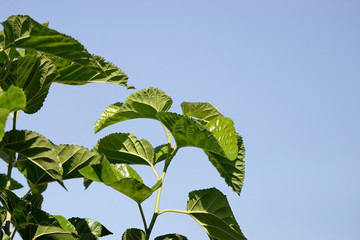 Mulberry tree leaves looking at the bright blue sky (landscape)