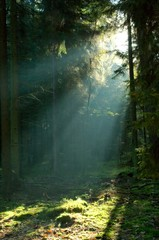 Misty morning in coniferous forest