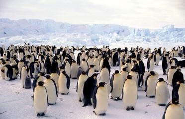 Papiers peints Pingouin Colone Terre adelie
