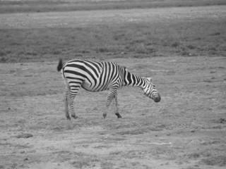 Zebra shot in Amboseli