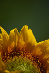 Sunflower with green background