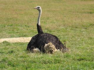 Adult Ostrich