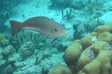 Queen parrotfish, initial phase, Bonaire.