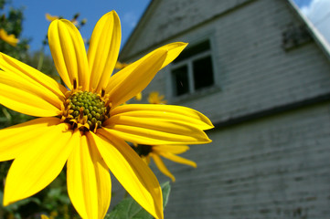 Flower of Helianthus tuberosus