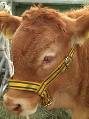 Highland Cattle Kalb