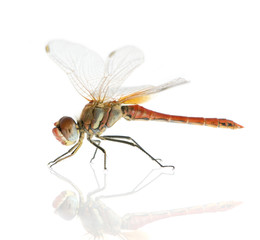 Drangonfly - Sympetrum fonscolombei