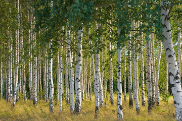Garden Poster Birch Grove Russian birches