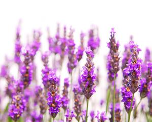 Tuinposter Lavendel Lavender background