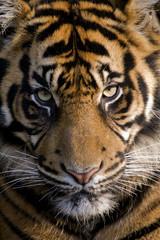 Amur Tiger (Panthera tigris altaica) - portrait orientation