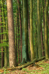 Beeches and pines