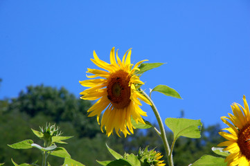 Fototapeten Sonnenblume Sunflower in a field in the Savoie in France