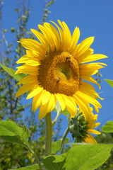 Foto auf Acrylglas Sonnenblume Sunflower in a field in the Savoie in France