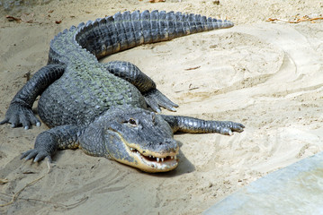Türaufkleber Crocodile Alligator