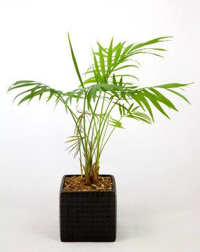 Pot plant (Chamaedorea)