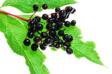 elder berries on white background