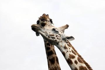 Giraffes. Shape. Couple of giraffes together