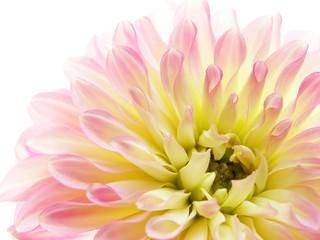 In de dag Macro pink dahlia