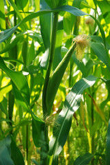 Corn Silks
