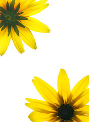 Floral frame of two sides of yellow flower isolated on white