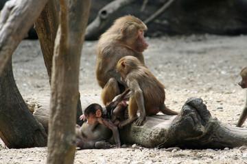 Nachwuchs bei den Primaten