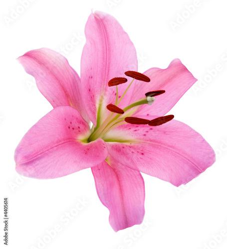Fleurs de lys rose for Fleurs online