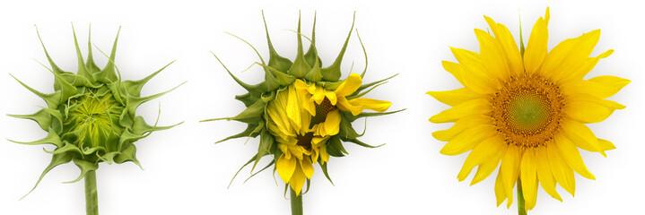 Photo sur Plexiglas Tournesol tournesols en croissance