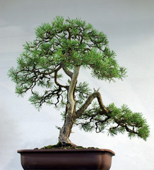 Bonsai Four