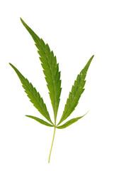 marijuana leave isolated