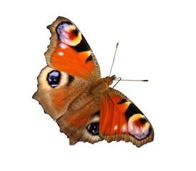 Papiers peints Paon Papillon : Paon du jour
