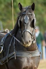 portrait d'un cheval mérens attelé