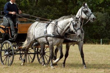 chevaux gris attelés en paire