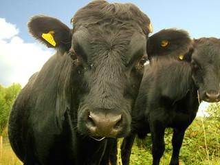 A Cows Lens
