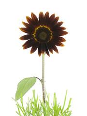 Crimson Sunflower