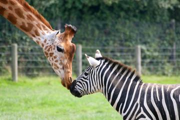 Photo sur Aluminium Zebra zèbre et girafe