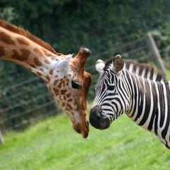 Photo sur Aluminium Girafe zèbre et girafe
