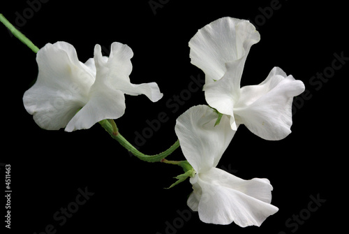 White sweet pea flower stock photo and royalty free images on white sweet pea flower mightylinksfo