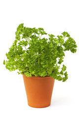 Fresh green parsley on white