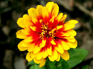 Yellow-red flower, close-up. Garden.