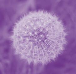 Dandelion in Lilac